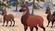 Musk Deer TLG