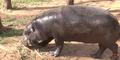 Oklahoma City Zoo Hippo
