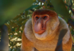 Proboscis-monkey-planet-zoo