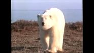 RWA Polar Bear