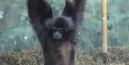 Racine Zoo White-Cheeked Gibbon