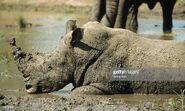 Rhino Enjoying a Mud Bath