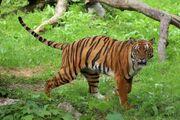South China Tiger.jpg