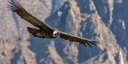 Subject-andean condor