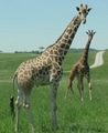 The Wilds Reticulated Giraffes