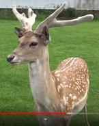 WMSP Deer