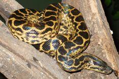 Anaconda, Yellow.jpg