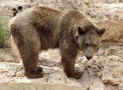 Bear, Gobi.jpg