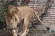 Buffalo Zoo African Lion