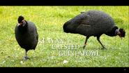 Cincinnati Zoo Guineafowl