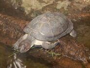 East African black mud turtle