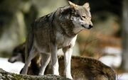 Eurasian Wolf1.jpg