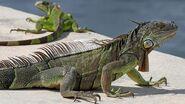 Iguana, Green (V2)