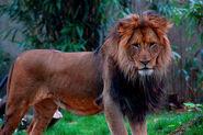 Lion, Congo (V2)