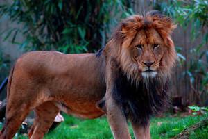 Congo Lion