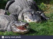Male and Female American Alligators