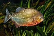 Red-bellied Piranha.jpg