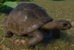 Tortoise, Aldabra Giant (Planet Zoo)
