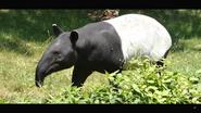 Virginia Zoo Tapir (V2)