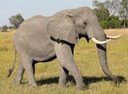 African Bush Elephant (V3)