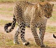 African Leopardess