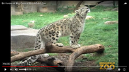 Brookfield Zoo Snow Leopard