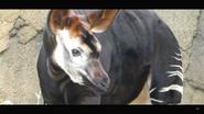 Cincinnati Zoo Okapi (V2)