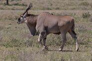 Common eland (Tragelaphus derbianus)