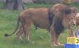 Detroit Zoo Lion