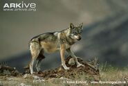 Indian-wolf-side-view