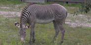 Jacksonville Zoo Zebra