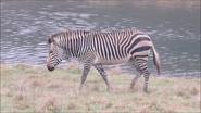 Marwell Zoo Mountain Zebra