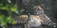 Oklahoma City Zoo Cheetah