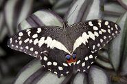 Swallowtail, Citrus
