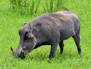 Warthog, Central African