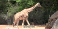 Zoo Anlanta Giraffes