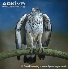 African-hawk-eagle-portrait.jpg