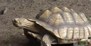 Akroj Zoo Spurred Tortoise