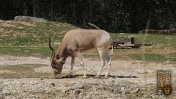 Dallas Zoo Addax.png