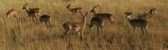 KNP Impalas