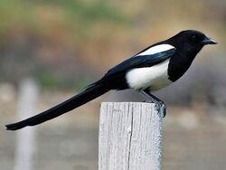 Magpie, Black-Billed.jpg