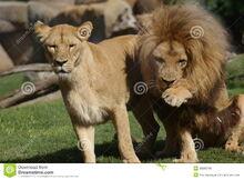 Pair-katanga-lion-panthera-leo-bleyenbergh-36889749.jpg
