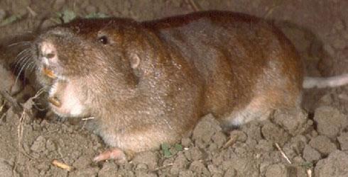 Plains Pocket Gopher