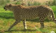San Diego Zoo Safari Park Cheetah