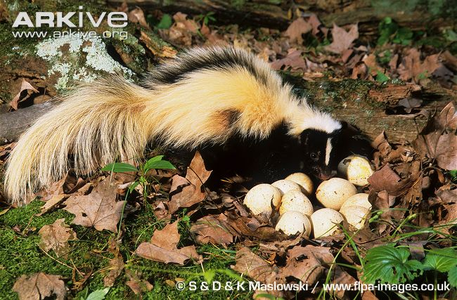 Eastern Striped Skunk