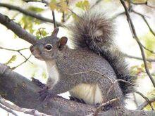 Westerngreysquirrel.jpg