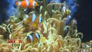 Akron Zoo Clownfish