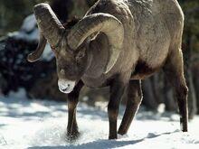 Bighorn-sheep 463 600x450.jpg