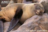 Cape-fur-seal-sleeping