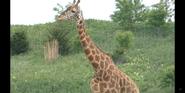 Columbus Zoo Masai Giraffes